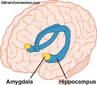 amygdala and hippocampus
